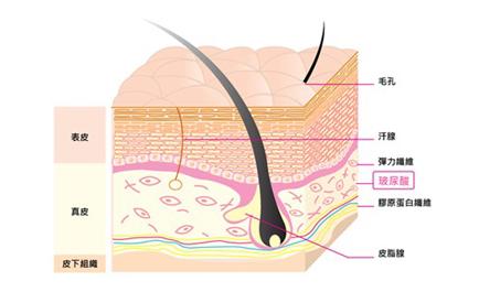表皮層與玻尿酸