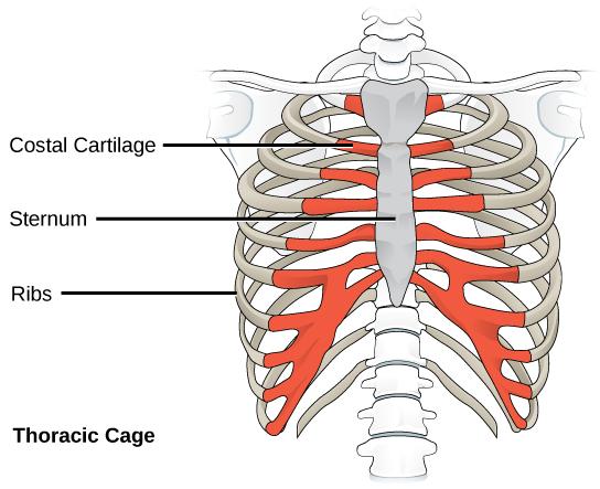 擠乳溝下的秘密-胸骨解剖圖