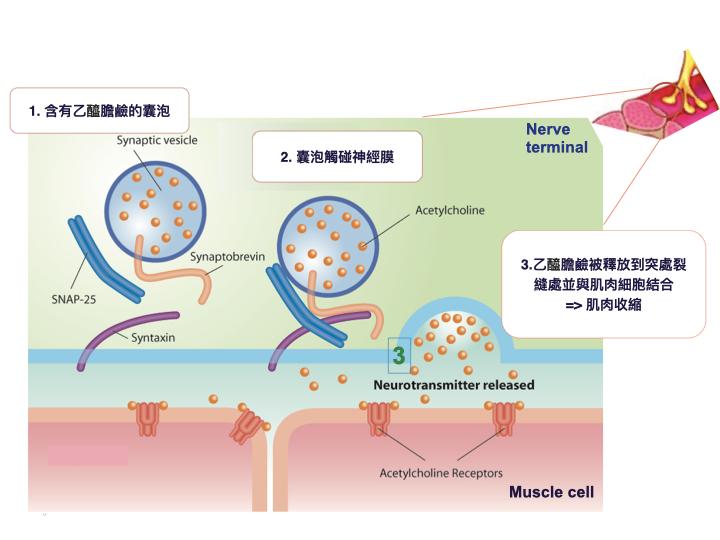 肉毒桿菌作用機轉